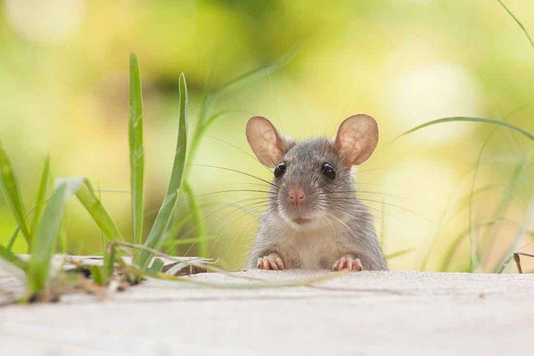 Best Pest Control For a Rat Problem
